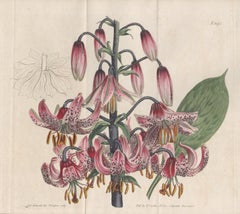 Turk's Cap Lily, botanical engraving with original hand-colouring, 1805