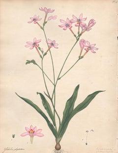 Gladiolus Polystachius - Branching Gladiolus, botanical flower engraving print