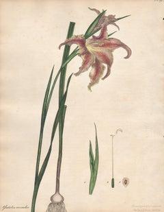 Gladiolus Versicolor - Changeable Gladiolus, botanical flower engraving print