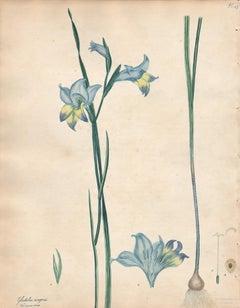 Gladiolus Ringens - English Henry Andrews botanical flower engraving, c1800