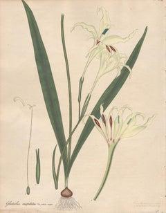 Gladiolus Cuspidatus - English Henry Andrews botanical flower engraving, c1800