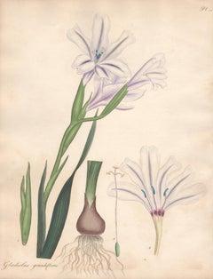 Gladiolus Grandiflorus - English Henry Andrews botanical flower engraving, c1800