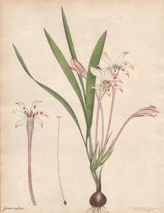 Gladiolus Longiflorus - English Henry Andrews botanical flower engraving, c1800