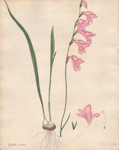 Gladiolus Carneus - English Henry Andrews botanical flower engraving, c1800