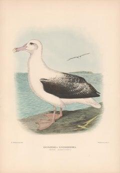 Royal Albatross, Sea Bird lithograph with hand-colouring, 1928