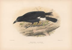 Lord Howe Island Crow-Shrike, Bird lithograph with hand-colouring, 1928