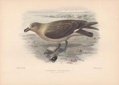 South Polar Skua, Sea Bird lithograph with hand-colouring, 1928