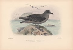 Kerguelen Pulmar, Bird lithograph with hand-colouring, 1928