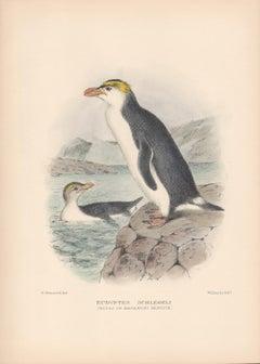 Royal or Macaroni Penguin, Sea Bird lithograph with hand-colouring, 1928