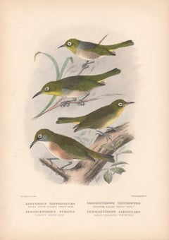 Lord Howe Island White-Eye and others, Bird lithograph with hand-colouring, 1928