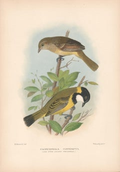 Lord Howe Island Thickhead, Bird lithograph with hand-colouring, 1928