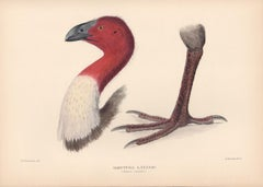 Brush-Turkey, Bird lithograph with hand-colouring, 1928
