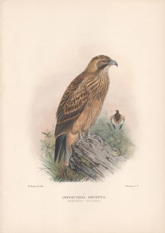 Northern Buzzard, Bird of Prey, lithograph with hand-colouring, c1915