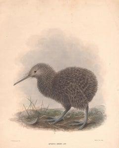 Kiwi, Apteryx Owenii, New Zealand bird lithograph with hand-colouring, c1875