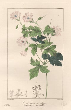 Geranium striatum - French botanical flower engraving by Pancrace Bessa, c1830