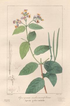 Apocynum androsamifolium - French botanical flower engraving by Bessa, c1830