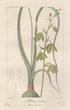 Albuca Minor - French botanical flower engraving by Bessa, c1830