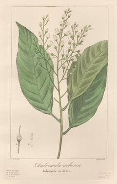 Andromeda arborea - French botanical flower engraving by Bessa, c1830