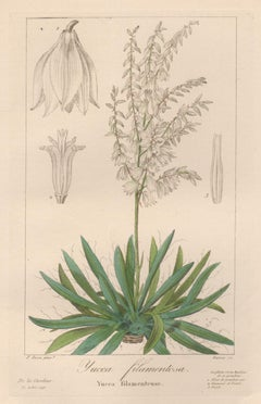 Yucca filamentosa - French botanical flower engraving by Bessa, c1830