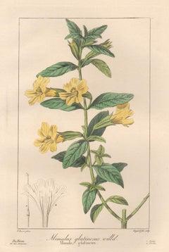 Mimulus Glutinosus - French botanical flower engraving by Bessa, c1830