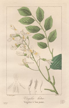 Virgilia Lutea - French botanical flower engraving by Bessa, c1830