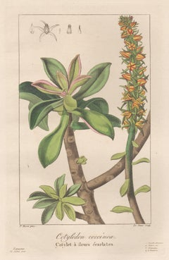 Cotyledon coccinea - French botanical flower engraving by Bessa, c1830