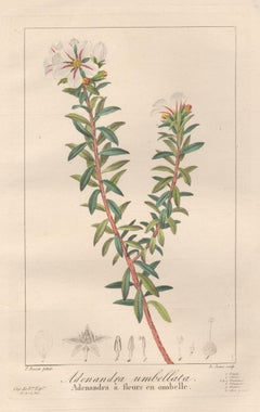 Adenandra umbellata - French botanical flower engraving by Bessa, c1830