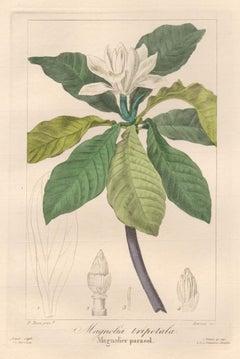 Magnolia tripetala - French botanical flower engraving by Bessa, c1830