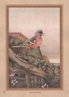 'Chaffinch', English bird print after Edward Detmold, circa 1919