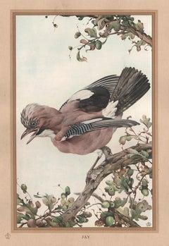 'Jay', English bird print after Edward Detmold, circa 1919
