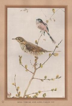 'Song Thrush and Long-Tail Tit', bird print after Edward Detmold, circa 1919