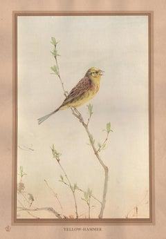'Yellow-Hammer', English bird print after Edward Detmold, circa 1919