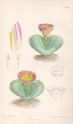 Mesembryanthemum Pearsonii, antique botanical flower lithograph print