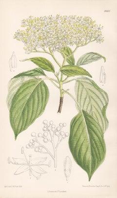 Cornus Controversa, Wedding Cake Tree, antique botanical flower lithograph print