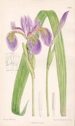 Iris Caroliniana, antique botanical purple flower lithograph print