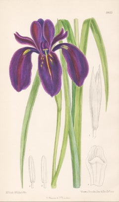 Iris Chrysographes, antique botanical purple flower lithograph print