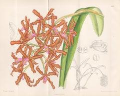 Schomburgkia leuddemani, orchid, antique botanical flower lithograph print