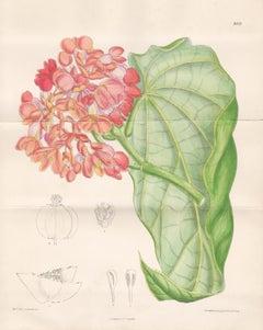 Begonia dichroa, native to Brazil, antique botanical lithograph print