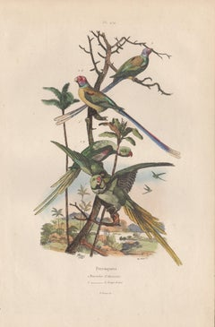 Alexandrine Parrot and Long-tailed Parrots, French bird colour engraving, 1839