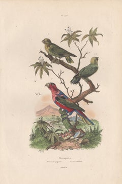 Pygmy Parrot and Three Coloured Lorikeet, French bird colour engraving, 1839