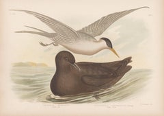Indian Tern and Great Skua, antique sea bird chromolithograph print, 1889