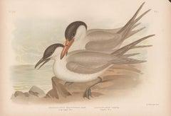 Long-legged Tern and Caspian Tern, antique sea bird chromolithograph print, 1889