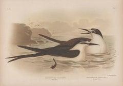 Sooty Tern and Panayan Tern, antique sea bird chromolithograph print, 1889