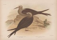 Lesser Moddy and Moddy Tern, antique sea bird chromolithograph print, 1889