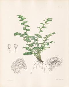 Rue-leaved Gymnogramme, antique fern botanical plant lithograph print, 1859