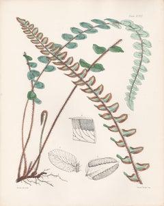 Round-leaved Pellaea, antique fern botanical plant lithograph print, 1859