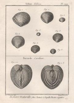 Shells, French 18th century natural history marine sea shell engraving