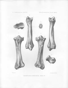 Brontops Robustus, antique Como Bluff dinosaur bone lithograph print