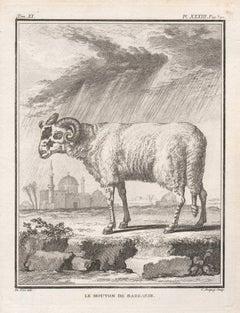 Le Mouton de Barbarie, antique French 1760s sheep engraving