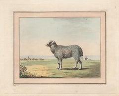 Sheep by coast, antique colour aquatint engraving, circa 1800